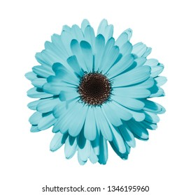 Blue daisy or chamomile isolated on white background. Camomile flower head close up. Deep focus.