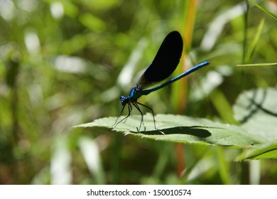 Blue damselfly. Calopteryx virgo.