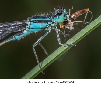 blue damselfly eating mayfly