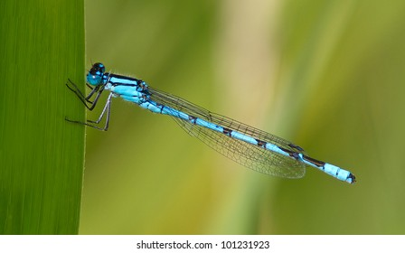 Blue Damselfly (Enallagma cyathigerum)