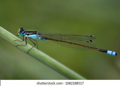 Blue Damselfly or Enallagma cyathigerum on leaf soft background