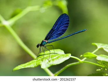 Blue Damselfly on green plant with green background. Albania.