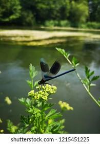 Blue Damselfly on the River Avon in Springtime