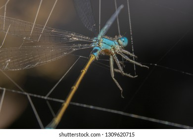 Blue Damselfly with an orange tail is stuck in spider webs. Damselfly almost looks like a puppet getting stuck in the webs