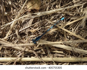 A blue damselfly (Zygoptera) with damaged wing at rest on some dried grass