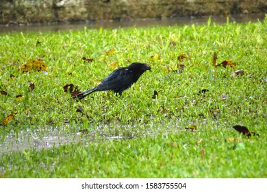 Blue, dark bird isolated on grass