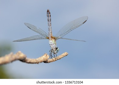 A blue dasher dragonfly does a handstand on a branch.  Positioned vertically, the insect uses its wingx to balance on a branch in a blue sky.