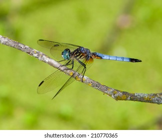 Blue Dasher dragonfly (Pachydiplax longipennis) perched over a wetland in southwest Ohio.