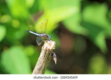 Blue dasher - Reelfoot Lake State Park, Tennessee