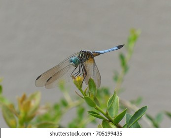 Blue dasher skimmer dragonfly perched on weeping yaupon holly against tan background