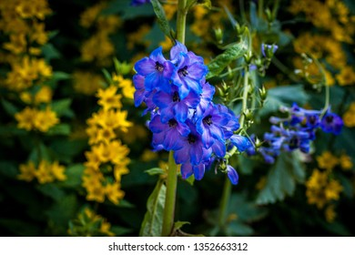 A blue Delphinium (Larkspur) flower with other yellow flowers behind