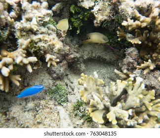 Blue devil damselfish, yellow buttefly tang, angelfish and others in the Great Astrolabe Reef in the Pacific Ocean on Dravuni Island, Fiji