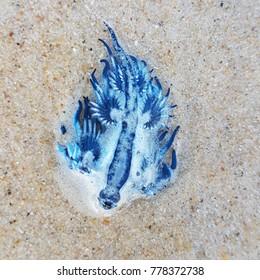 blue dragon sea slug, scientific name Glaucus Atlanticus. Surfers Paradise, Australia. October 2017