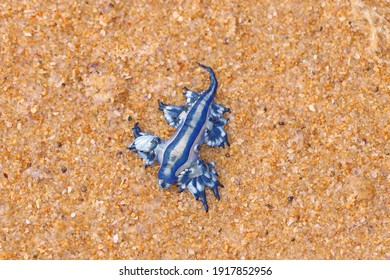 Blue dragon stinger washed up on the beach