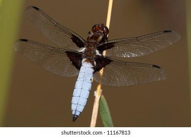 Blue dragonfly - Libellula depressa