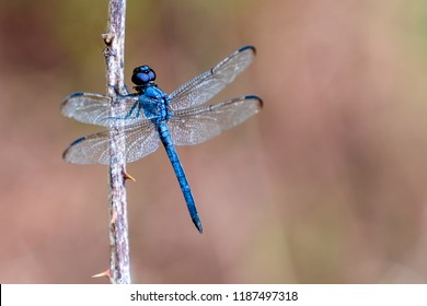 Blue dragonfly (Libellula incesta ) on branch with thorns with soft background with negative space