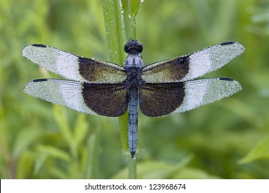 A blue dragonfly (Libellula luctuosa) or Widow Slimmer, Male, covered with morning dew