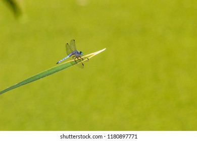 Blue dragonfly on a green blade of grass or cattail with a green background. In the Sonoran desert outside of Tucson, Arizona. Summer 2018.