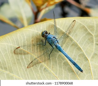 Blue dragonfly on leaf nature photography