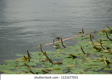 Blue Dragonfly on the river full of water lilies