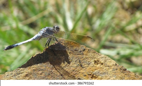 Blue dragonfly on a rock.