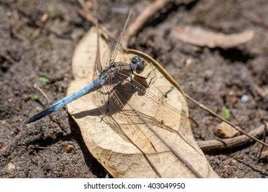 Blue dragonfly resting on a dry leaf