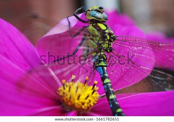 blue-dragonfly-sitting-on-flower-600w-16