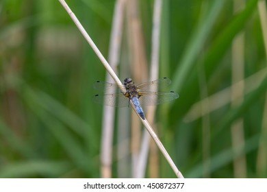 Blue Dragonfly sunning itself on a reed.