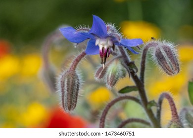Blue edible borage flowers growing in a field of wild flowers surrounded by trees, photographed in early morning in Gunnersbury, West London UK.