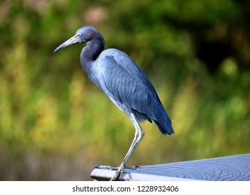 Blue Egret on the marshland of Florida, USA