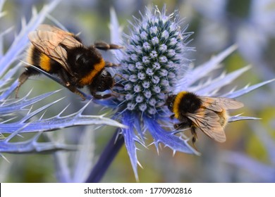 Blue eryngium is top summer bee plant. Dozens of honeybees on blossom collect nectar for their winter food Garden border perennial flower gets bigger and better every year and attracts butterflies too