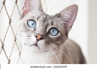 Blue eye cat looks at camera with safety net on its side