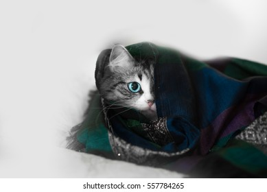 blue eye gray cat is under a color Cape (scarf)