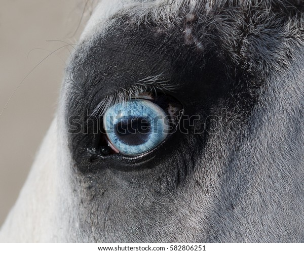 Blue eye of horse close up, animal's detail