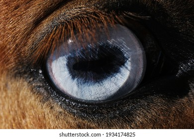 Blue eye of horse closeup for sight or vision concept.