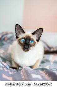 Blue eyed Balinese pedigree cat