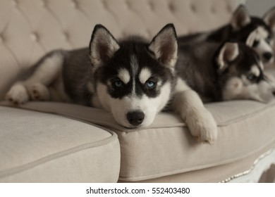 blue eyed beautiful husky puppies sit on the couch