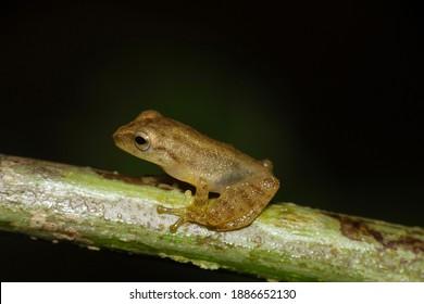 Blue eyed Bush Frog, Raorchestes luteolus, Agumbe, Karnataka, India