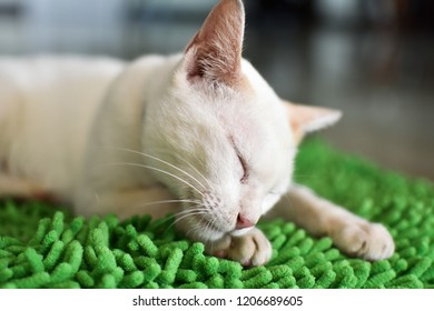 Blue eyed Cat  are cleaning themselves.