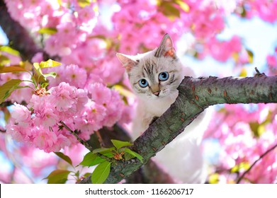 Blue eyed cat sitting on the branch of sakura tree