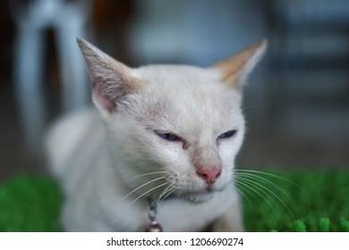 Blue eyed Cat  sitting on Green carpet.