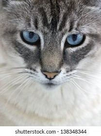 blue eyed cat stares at you