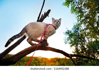 Blue eyed cat walking on the leash standing on the branch
