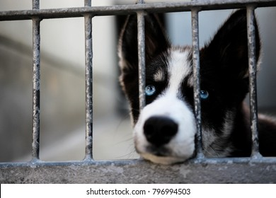 Blue eyed dog in animal shelter