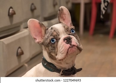 Blue eyed French bulldog looking into the camera.
