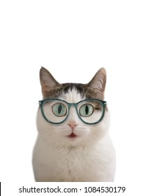 blue eyed funny cat in eye wear sight correction glasses close up photo isolated on white with copy space