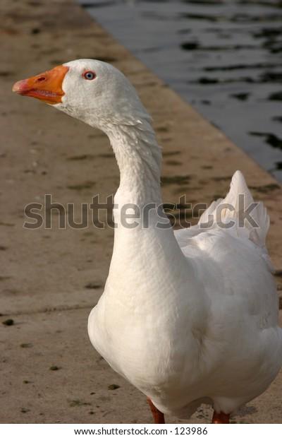 a blue eyed goose