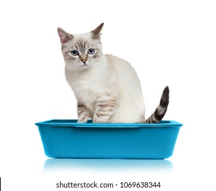 Blue eyed kitten in the litter box isolated on white