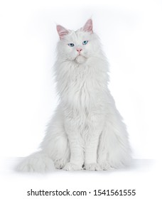 Blue eyed Maine Coon Cat sitting and looking straight at the camera.  Isolated on white background.