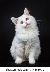Blue eyed ragdoll cat / kitten sitting isolated on black background looking up with tilted head